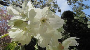 サトザクラ'ウコン'の花