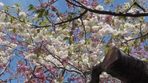 サトザクラ'フゲンゾウ'の花