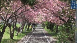 栄通10丁目付近の桜のトンネル