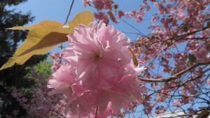サトザクラ'カンザン'の花