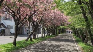 万生公園付近の桜並木