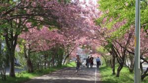 万生公園付近の桜のトンネル