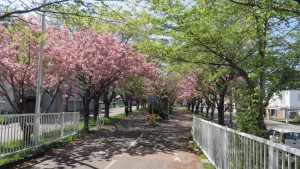ふれあい並木道の桜のトンネル
