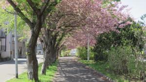 ふれあい並木道の桜並木