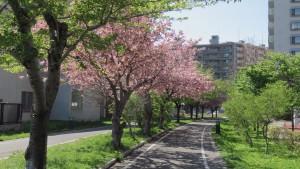 東札幌1条緑地付近の桜並木