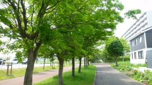 ヤマモミジの並木