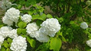 オオデマリの白い装飾花