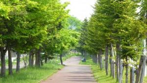 エゾマツの並木