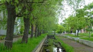 修景水路わきのシダレヤナギ