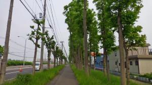 茨戸福移通のヤチダモ並木
