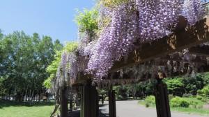 伏古公園のふじ棚1