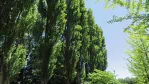 伏古公園のポプラ並木