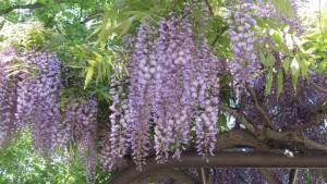 フジの花5