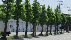 苗穂丘珠通のイチョウ並木