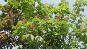 ベニバナトチノキの花