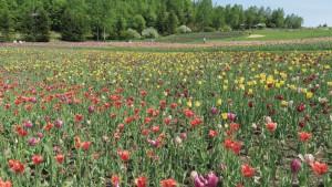 「花のまきば」のチューリップ
