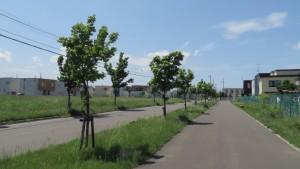 イタヤカエデ並木