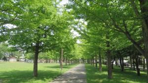 イチョウ並木(エルムの森公園)