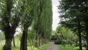 ポプラ並木(新琴似グリーン公園)