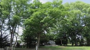 札幌市保存樹木「ハルニレ」
