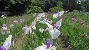 ハナショウブ'千代の春'