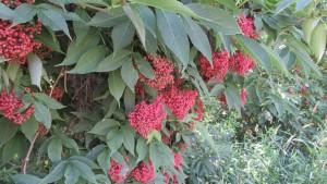 エゾニワトコの赤い実