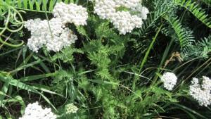 セイヨウノコギリソウの花