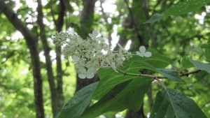 ノリウツギの白い花