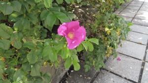 ハマナスのピンク色の花