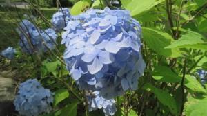 アジサイの青い装飾花