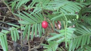 ハイイヌガヤの赤い実