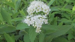 シロバナシモツケの花