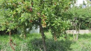 エゾノコリンゴの実