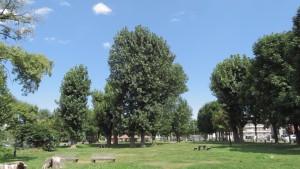 鉄興公園のポプラ