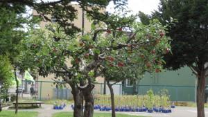 リンゴの木(平岸小学校)