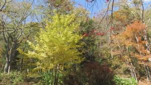 イチョウの黄葉と木立
