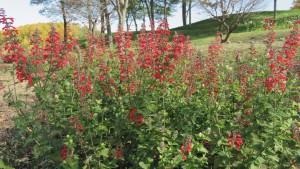 サルビア コクシネアの花