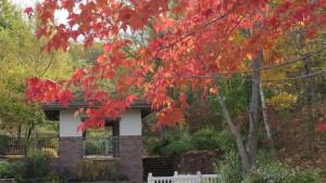 アメリカハナノキの紅葉