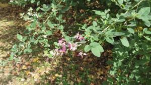 ニシキハギの花