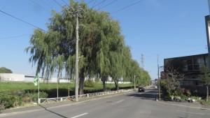 米里川緑地のヤナギ並木