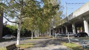 黄葉のシラカバ並木