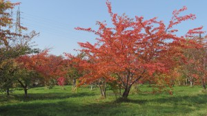 サクラの紅葉(ここから豊平川桜の杜)