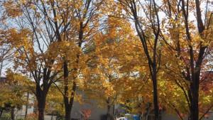 木立の黄葉
