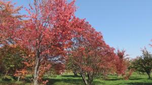 木立の紅葉