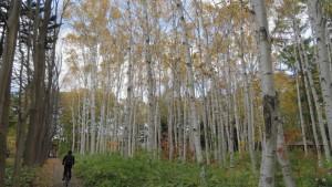 シラカバ林の黄葉