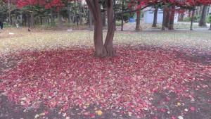 ノムラカエデの落ち葉