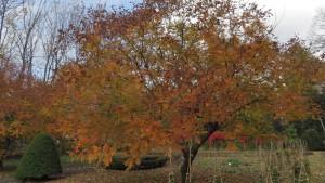 モクゲンジの紅葉