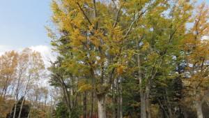 ケヤキの黄葉