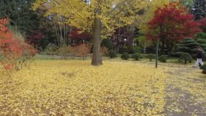 イチョウの黄葉と落ち葉