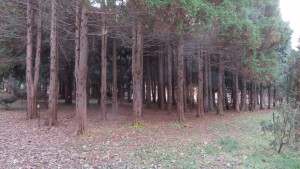 オウゴンヒバの木立